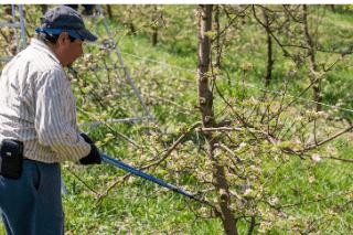 Tavaszi munkák a gyümölcsösben